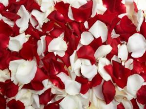 petalos rosas