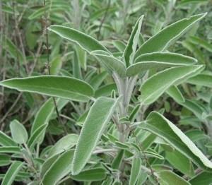 salvia, hierba medicinal
